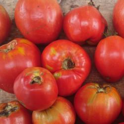 Tomate Cœur de Bœuf Red Reif