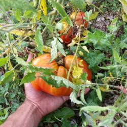 Tomate Cœur de Bœuf Jérusalem